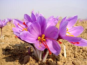 افزایش 2300 درصدی صادرات زعفران