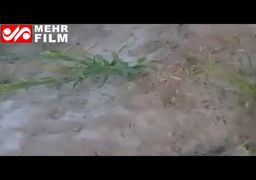 ویدئو/ حمله ملخهای صحرایی به مزارع جنوب کرمان