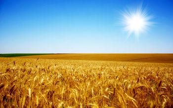 کاهش بی سابقه قیمت گندم در جهان