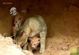 لحظات نفسگیر هجوم مار غولپیکر به لانه گربهها